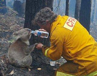 CFA Volunteer gives a drink to a thirsty Koala