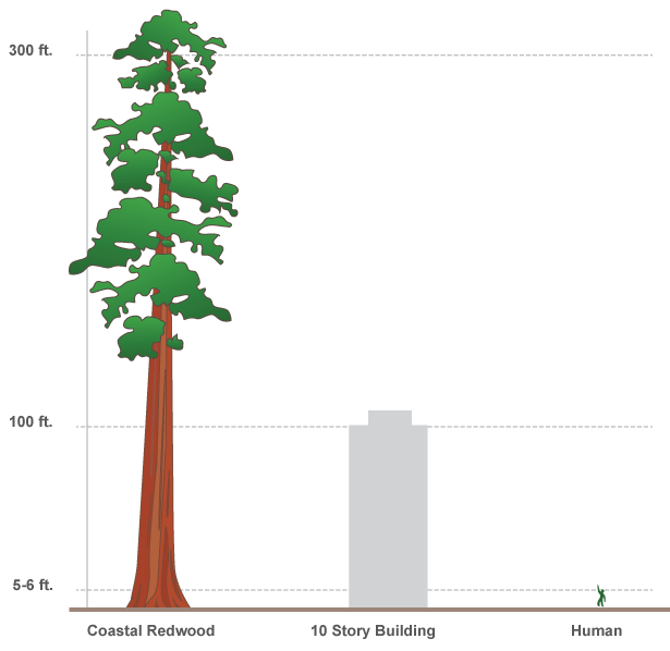 A simple infographic comparing the height of a redwood, with human scale