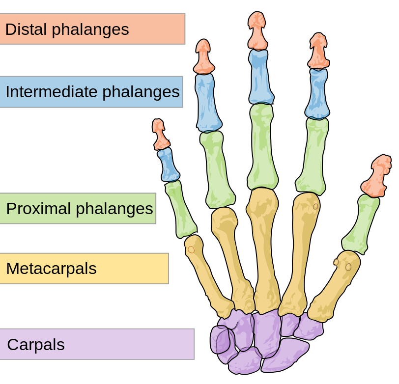 The bones in the human hand
