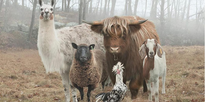 Diverse teams: Sheep, bull, goat, rooster,& llama
