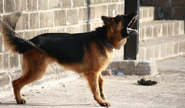 German Shepard Guarding